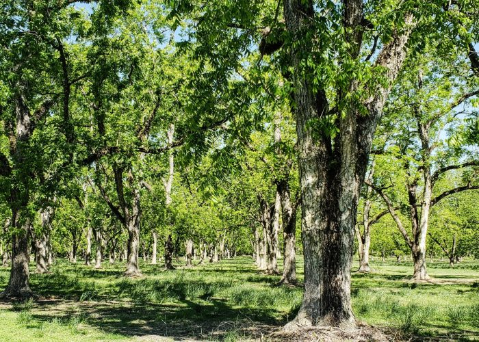 pecan-trees-leafing-out-in-the-springtime-in-south-YBW7X97